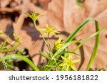 Blooming Hairy Star Of...