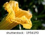 Pumpkin flower - stock photo