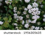 Close Up Small White Spiraea...