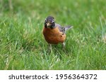 An American Robin Looking At...