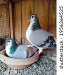 Two Gray Pigeons. One Sitting...