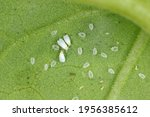 Cotton whitefly (Bemisia tabaci) adults and pupae on a cotton leaf underside