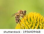 Beautiful Honey Bee Closeup On...