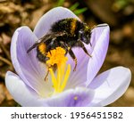 Macro Of A Bumblebee At A...