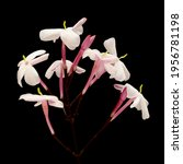 Flowering Jasminum Officinale ...