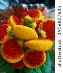 Small photo of TOMASHPIL, UKRAINE - 4 APRIL, 2021: calceolaria flowers with yellow and red colors