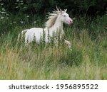 A Young Cremello Horse Canters...