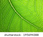Bodhi Leaf Macro Pattern Of...