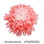 chrysanthemum isolated on a... | Shutterstock . vector #195698582