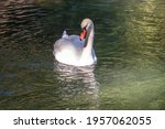 A Graceful White Swan Swimming...