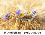 Wildflowers Blue Cornflowers ...