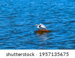 Pair Of Black Headed Gulls ...