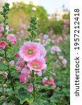 Hollyhock Flower In A Garden....