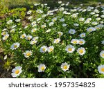 Lots Of Oxeye Daisy  Spring...