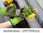 Female Hands In Gardening...
