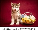 A Beautiful Husky Puppy Sitting ...