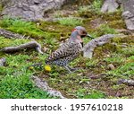 Small photo of The northern flicker (Colaptes auratus) or common flicker is a medium-sized bird of the woodpecker family. One of the few woodpecker species that migrate. Common names are yellowhammer,clape, gaffer.