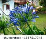Blue Or African Lily Or Lily Of ...