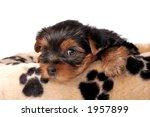 yorkshire terrier baby | Shutterstock . vector #1957899