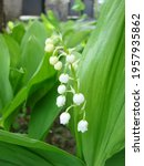White Flowers Of A May Lily Of...