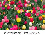 Field Of Colorful Tulips Red...