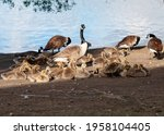 Geese And Goslings Grazing On...