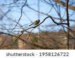 A Chickadee On A Tree Branch...