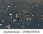 Flock Of Ducks Swimming And...