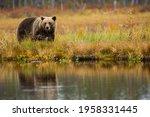 Brown Bear In Kuusamo  Lapland  ...