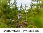Reindeers In Autumn In Lapland  ...