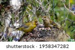 Two Greenfinch Birds Resting On ...