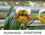 Small photo of Lady's Slipper Orchid (Cypripedioideae) is a subfamily of orchids commonly known as lady's slipper orchids, lady slipper orchids or slipper orchids.