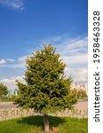 Coniferous Tree In Spring....