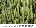 Wall Of Tall Cactus Plants In...