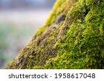 Mosses Are Small  Non Vascular...