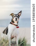 Portrait Of A Jack Russell...