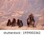 Family Of Furry Monkey  Sitting ...