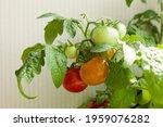 small bush of balcony cherry...   Shutterstock . vector #1959076282