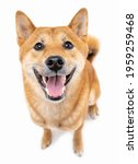 Small photo of Adorable friendly smiling and looking at camera red haired dog Shiba Inu on white background. Happy pet positive exited emotions making friends with you. Silly funny look. Top view from above.