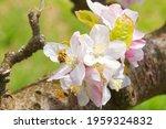 Carniolan Honey Bee Pollinating ...