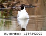 The Black Headed Gull ...