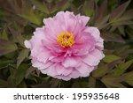 a pink peony | Shutterstock . vector #195935648