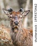 Wild Red Deer Standing In...