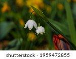 Summer Snowflake Or Loddon Lily....