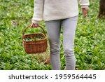 Woman Is Gathering Wild Garlic...