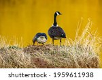A Canada Goose Together With A...