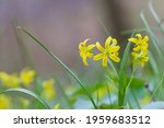 Gagea Lutea  A Yellow Star Of...