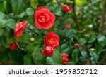 Japanese camellia  camellia...