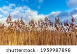 lake reeds against a background ... | Shutterstock . vector #1959987898