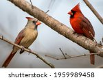 Male and Female Northern Cardinals Facing Each Other While Perched on Bare Branches in Early Spring in Louisiana